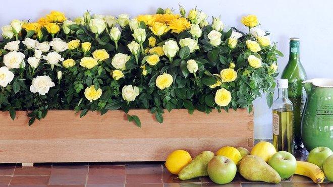 Мініатюрні кімнатні троянди в інтер'єрі