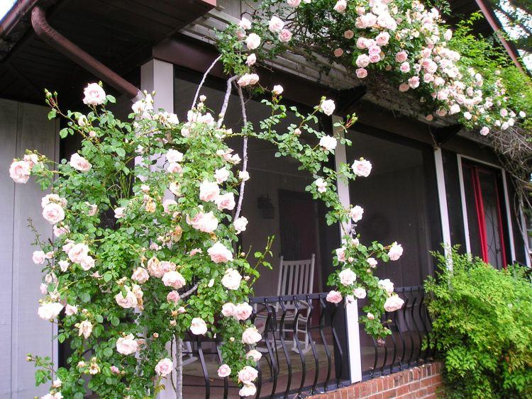 Плетисті троянди для декору веранди