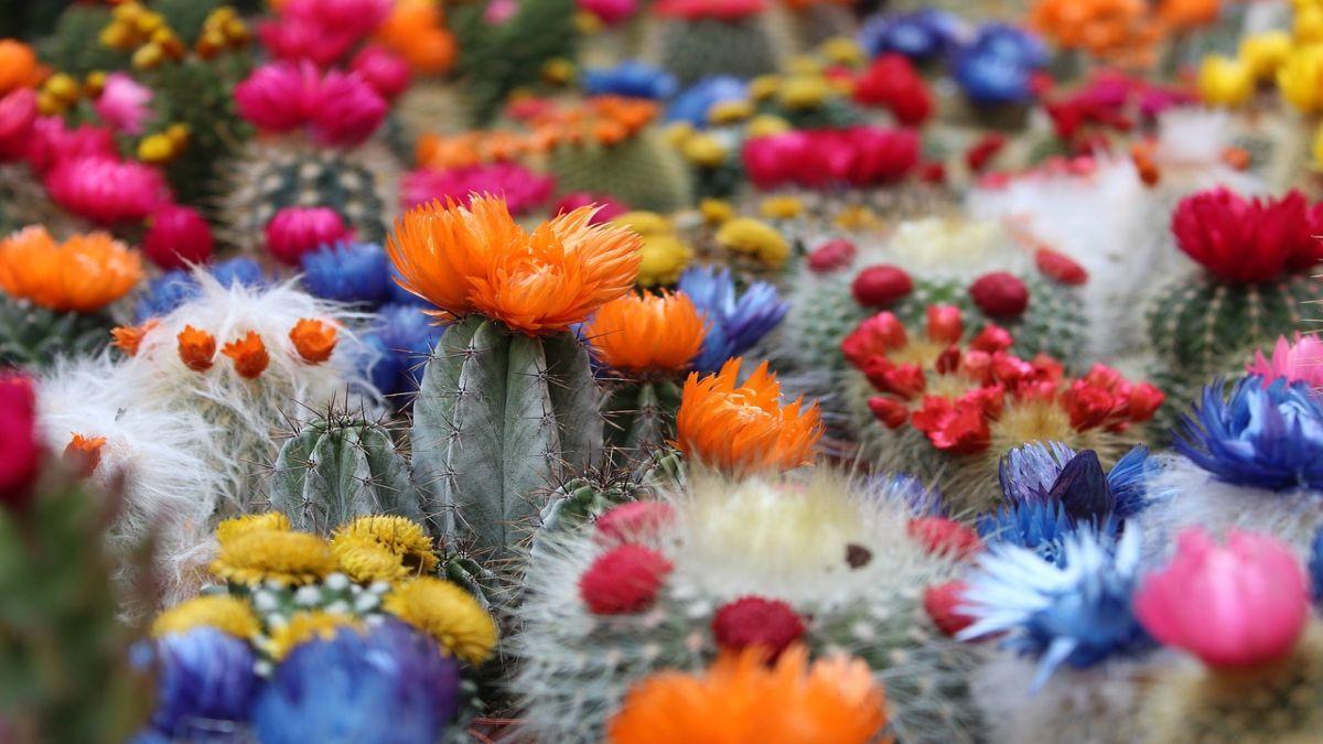 3 популярні кактуси з красивими квітами