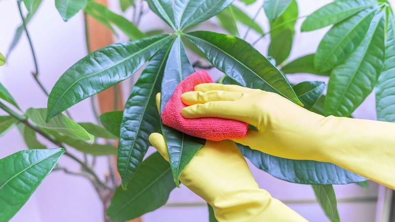 Прибирання пилу на листях домашніх рослин